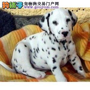 出售高品质斑点幼犬 签署各项质保协议 质保三年