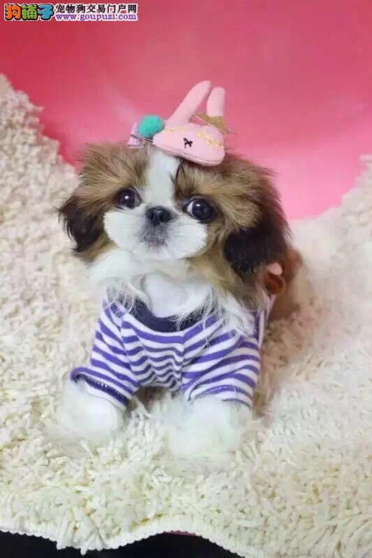贵妇宠物犬,小型西施小宝贝,加我视频看狗