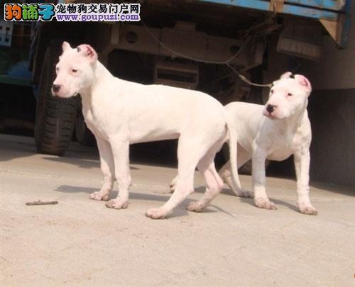 纯种杜高犬,肌肉发达,性格勇敢,专业繁育幼犬犬舍