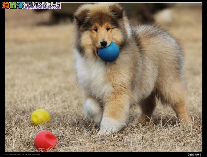 苏格兰牧羊犬,哪里有纯种苏木犬宝宝?