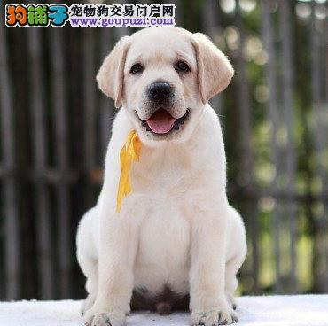 北京顶级拉布拉多幼犬 保纯种健康 CKU认证犬舍