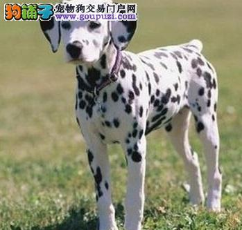 热销多只优秀的贵阳纯种斑点狗幼犬签署各项质保合同