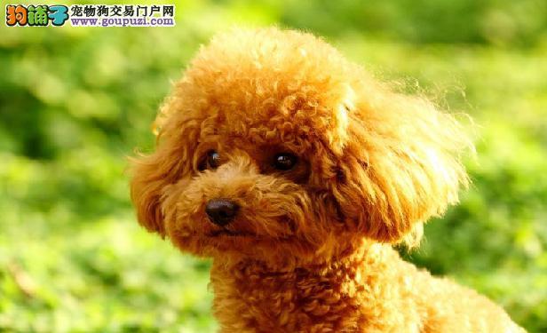 天津繁殖基地出售多种颜色的泰迪犬签署质保合同