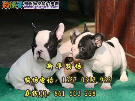 东莞哪里有斗牛犬出售 东莞哪里有法斗小狗买