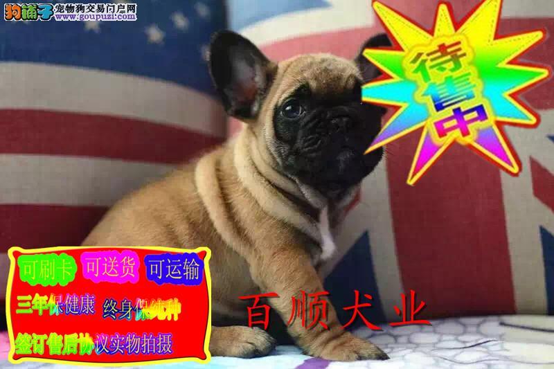 纯种双血统活泼 聪明的法国斗牛犬带证书 包健康