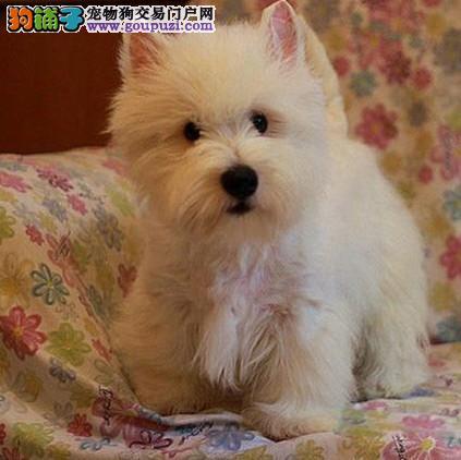 西高地幼犬纯种赛级西高地 宠物狗 白狗 bao证健康