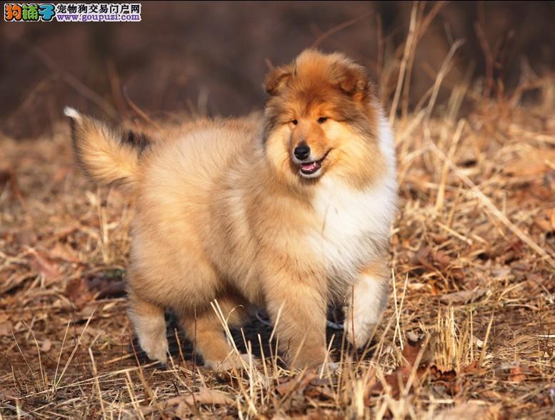 纯种苏格兰牧羊犬,颜色全,可加微信看狗