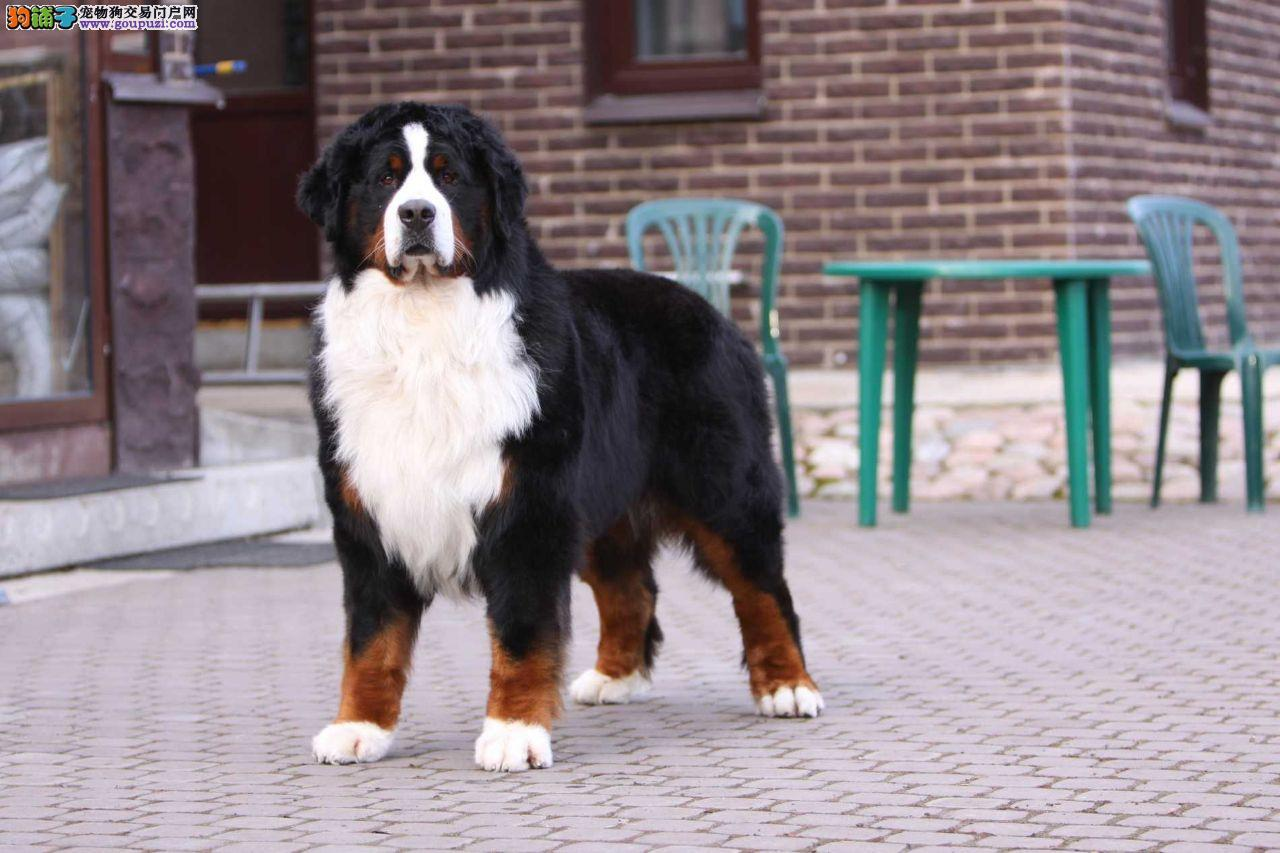繁殖伯恩山犬,正规犬舍,出售多窝伯恩山幼犬