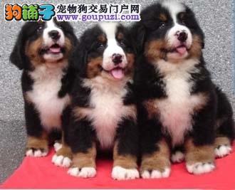 伯恩山犬,纯种伯恩山山地犬出售