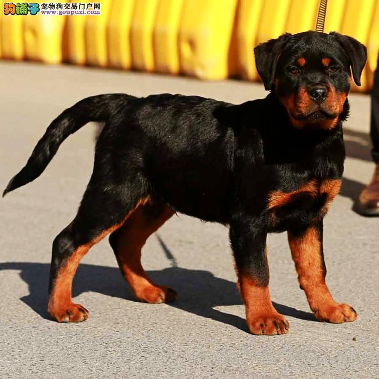 纯种冠军血,精品德系罗威纳犬出售