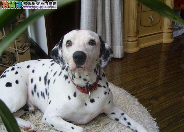 自家狗场出售纯种斑点狗狗,可加微信看狗