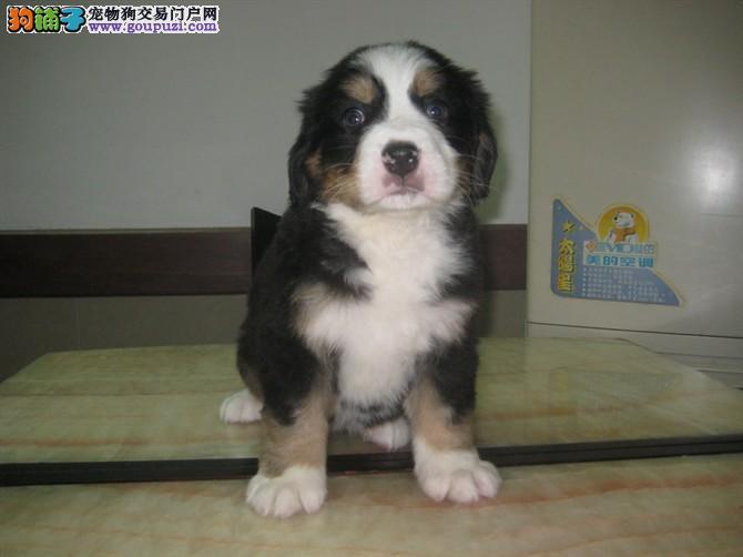 伯恩山犬纯种伯恩山宝宝出售 专业繁殖幼犬