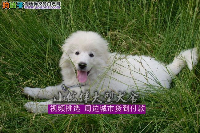 福建哪里有卖大白熊,福建哪里有卖狗的