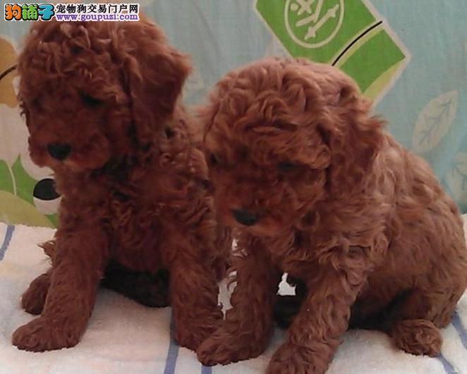 高品质泰迪熊多色可选,健康保障到场签协议,可爱家犬