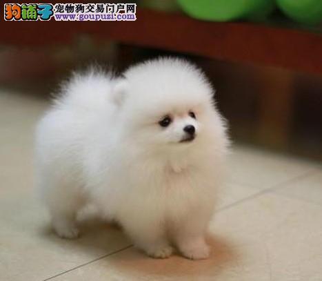 乖巧品种博美幼犬,血统纯正健康好养,到场立减优惠