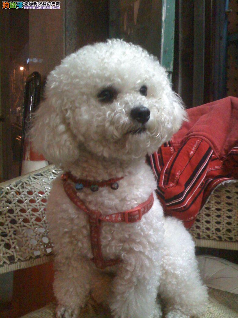 帅气茶杯犬,幼犬疫苗齐全可到场签协议,售后有保障