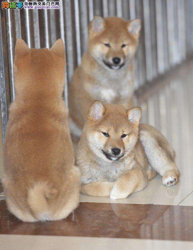 纯种柴犬 CKU认证犬舍直销 包健康