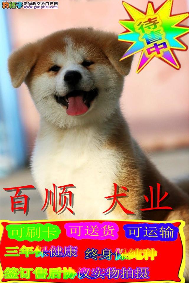 日系秋田犬美系 带证书包三年 高端伴侣犬