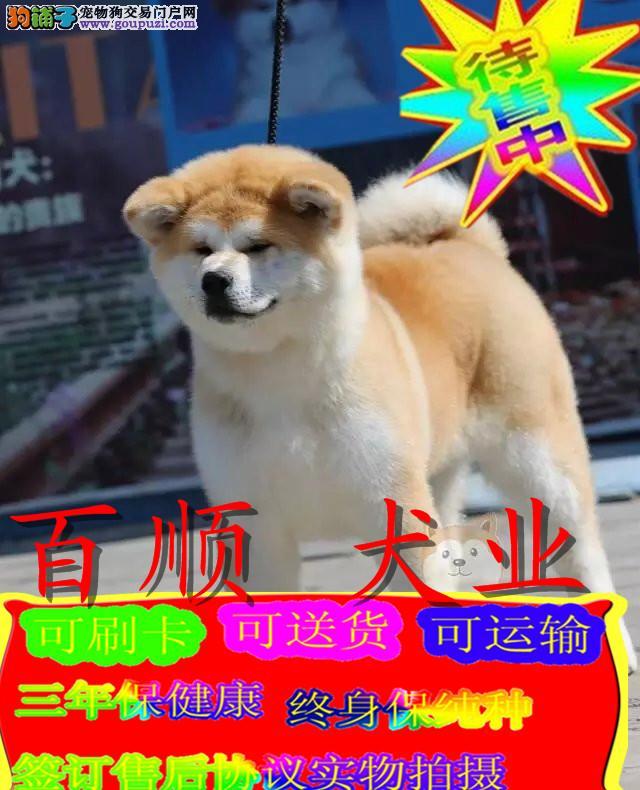 秋田犬绝对是忠犬八公的后代
