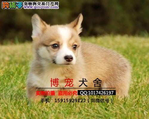威尔士柯基犬宝宝 健康纯种 终身质保 可送货上门
