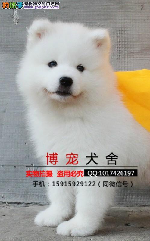 纯种萨摩耶幼犬出售 微笑天使萨摩 品相极佳品质保