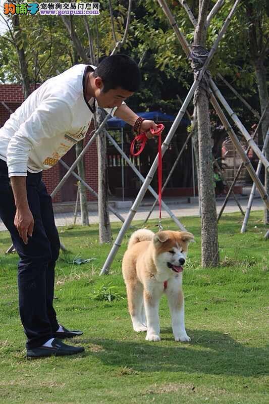 纯种高品质秋田犬正规秋田犬繁殖基地