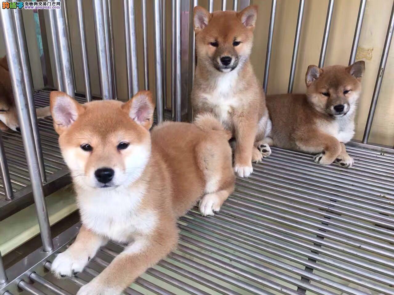 精品柴犬幼犬纯种健康质保三年