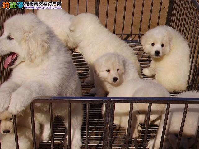 纯种大白熊犬公母都有随时可以上门挑选