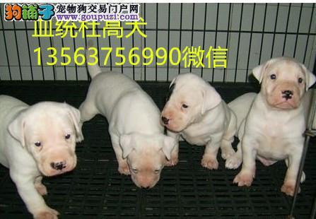 贵州哪里有卖血统杜高犬的吗