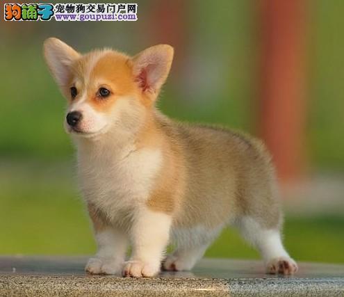 威尔士柯基犬 可爱小短腿 健康包养活 可签质保协议