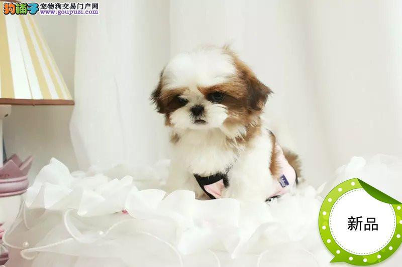 纯种活体京巴北京宫廷幼西施犬赛级血统保健康