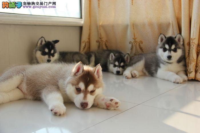 重庆狗场直销宠物级赛级 哈士奇包纯种 包健康