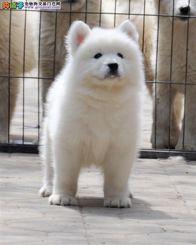重庆正规狗场直销赛级 宠物级的萨摩耶 包纯种包健康