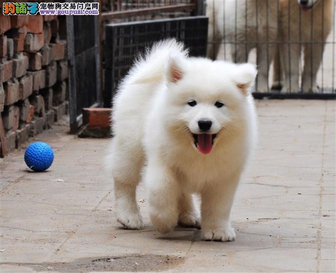 狗场直销纯种赛级 宠物级萨摩耶幼犬 包纯种健康