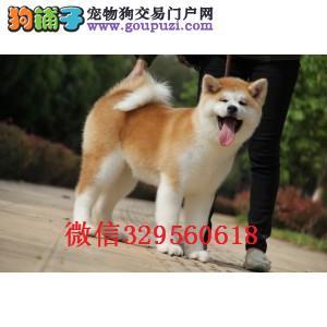 沈阳哪里有卖秋田犬 日系纯种秋田多少钱 赛级秋田犬