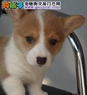 北京康泰名犬出售两三色柯基 短腿火车头柯基犬多少钱