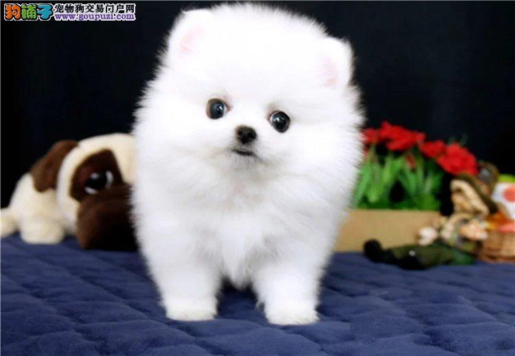赛级博美犬纯种健康可签协议可当面检测