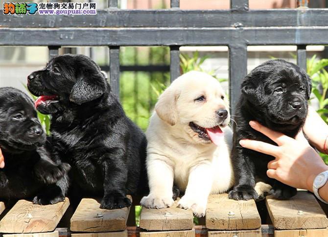 神犬小七同款,超级拉布拉多宝宝出售,保证纯种健康