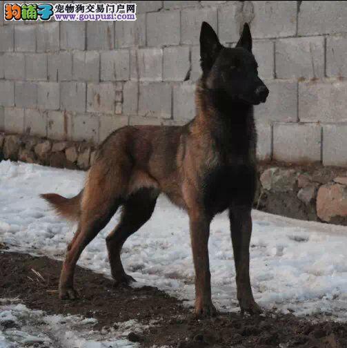 康泰名犬出售护卫犬警犬警觉性强动作灵敏马犬多少钱