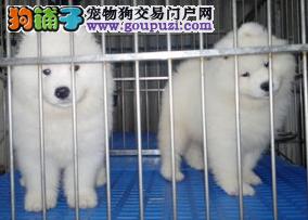康泰名犬出售纯白色澳版纯种微笑天使萨摩耶犬多少钱
