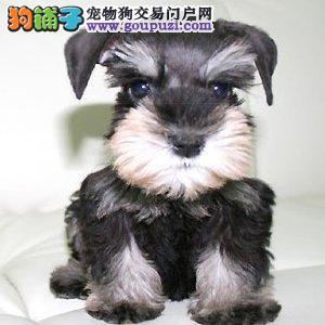 出售纯种迷你型黑银色椒盐色白胡子雪瑞纳犬多少钱
