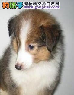 康泰名犬出售喜乐蒂牧羊犬多少钱喜乐蒂多少钱