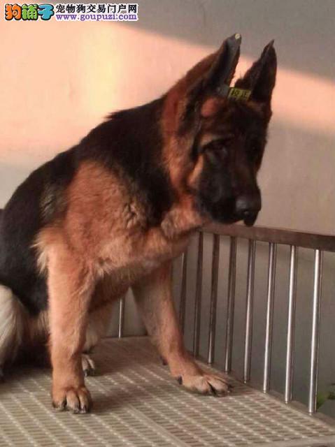 康泰名犬出售纯种弓背德国牧羊犬狼狗多少钱黑贝多少钱