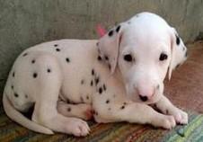 康泰名犬出售赛级黑白短毛纯种大麦町犬斑点犬多少钱