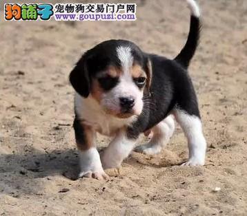 康泰名犬出售米格鲁猎兔犬纯种比格犬多少钱比格多少钱