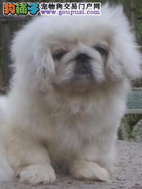 康泰名犬出售纯种京巴犬多少钱纯种京巴多少钱京巴价格