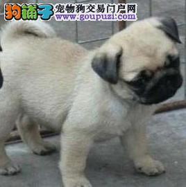 康泰名犬出售纯种鹰版黑脸黑嘴短毛哈巴狗巴哥犬多少钱