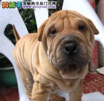 康泰名犬出售聪明憨厚皮松大皱褶纯种沙皮犬多少钱