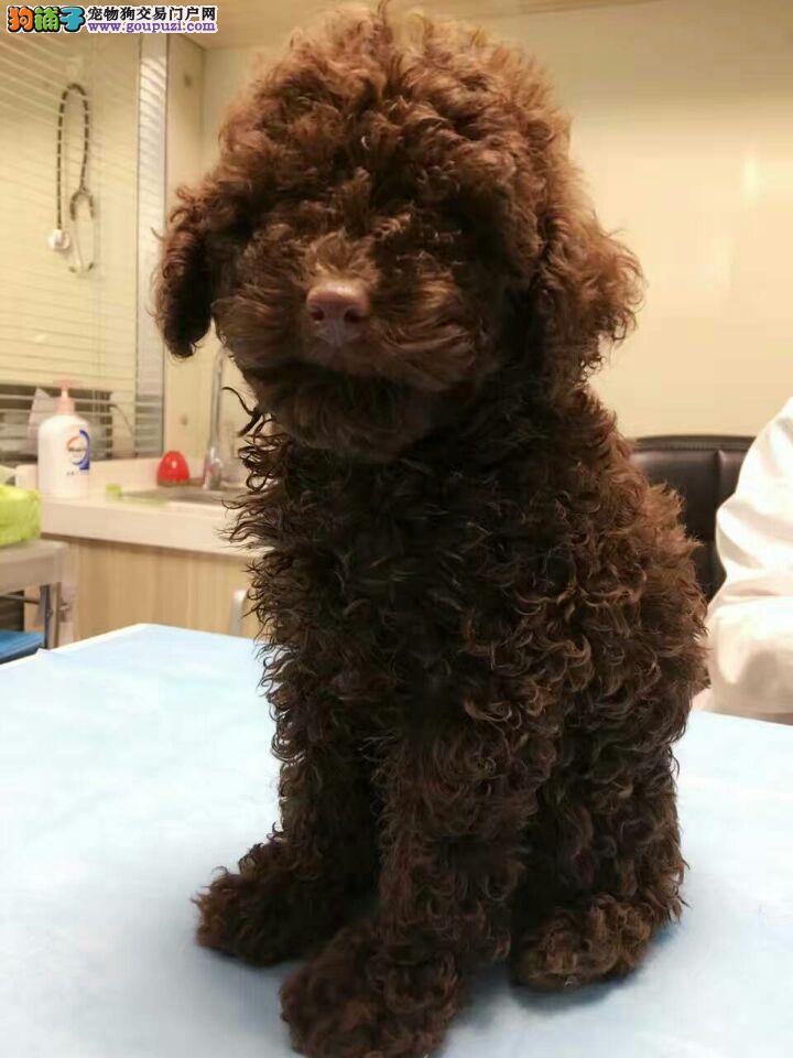 康泰名犬出售茶杯型,玩具型,标准型泰迪贵宾犬多少钱