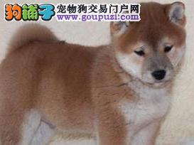 纯种日本柴犬 可爱的小精灵 城市家庭伴侣犬